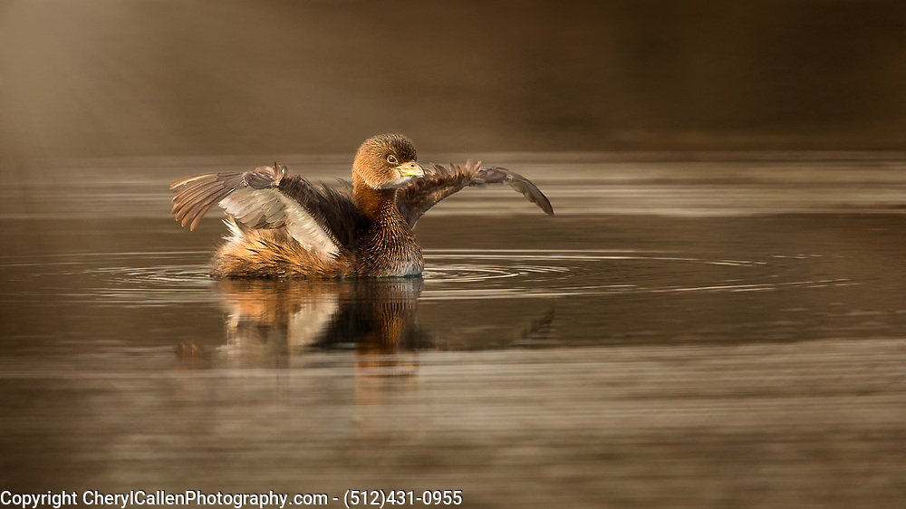 Pied-Billed Grebe fluffing up after preening