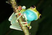 Frog, Nicaragua.