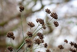 Seedheads of Verbena bonariensis