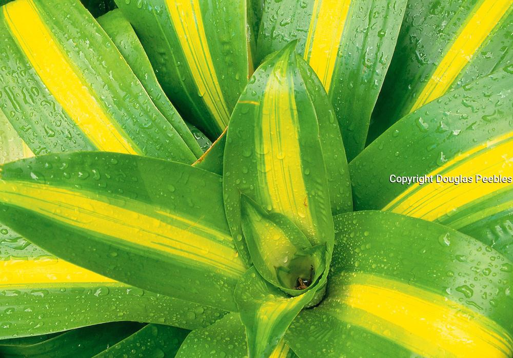 Bromeliad, Hawaii<br />