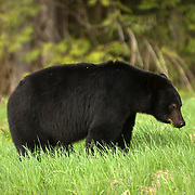 American Black Bear (Ursus americanus).  A black bear feeding near Whistler BC, Canada