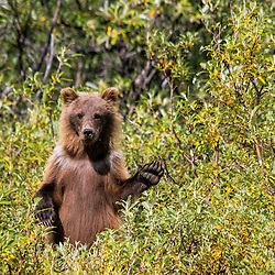 A brown bear cub near the Toklat River in Denali National Park.