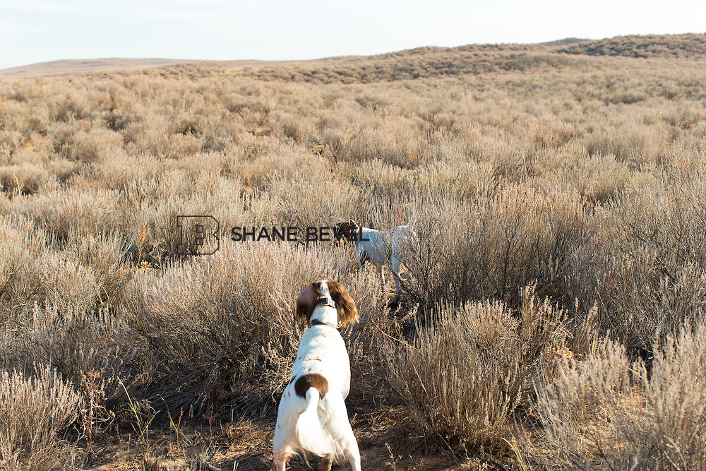 12/8/12 10:41:24 AM -- Quail hunting on the Cimarron Hills WMA in western Oklahoma. <br /> <br /> Photo by Shane Bevel