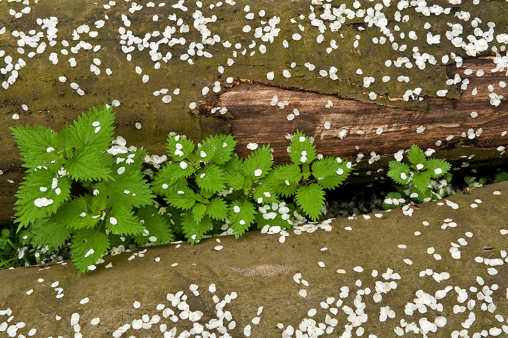 Nettle Urtica dioica amidst logs covered with cherry blossom petals, Hallerbos forest, Belgium