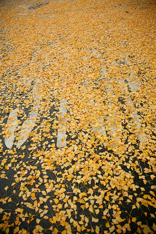 Fall leaves from a Ginkgo biloba tree obscure a street's surface and the word &quot;STOP&quot; in Alameda, Calif. on Dec 26, 2006.<br /> (Photo Copyright 2006 Lance Cheung)