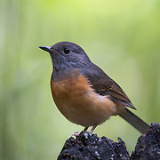 Female white-rumped shama (Copsychus malabaricus) is a small passerine bird of the family Muscicapidae.