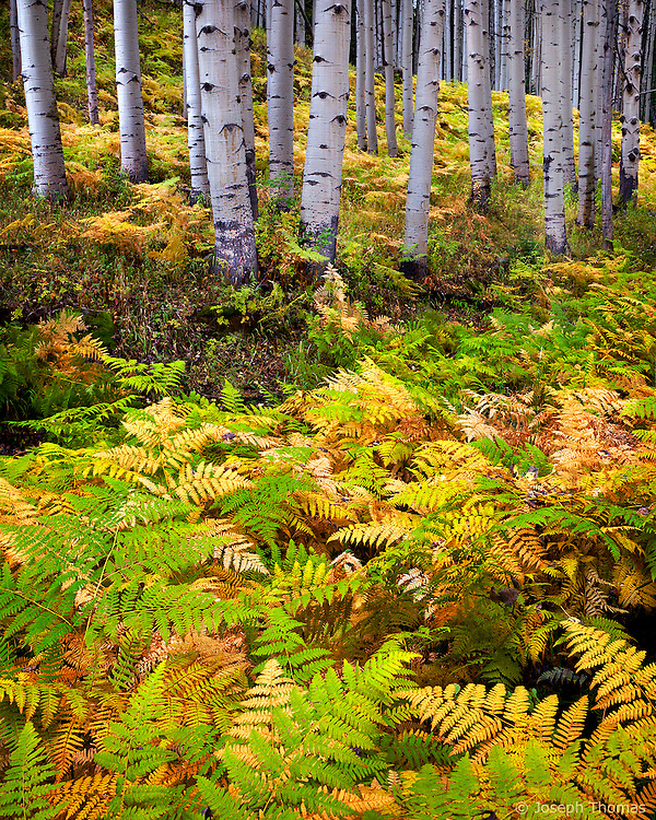 I came across this exceptionally attractive mix of ferns and aspen while hiking through the Elk Mountains. Ferns usually reach peak color before the aspen leaves have started to turn. Emphasizing the yellows, reds, and light greens of the forest floor, as well as the contours of the hillside, produces an interesting composition.