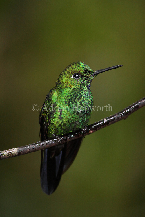 Male Green-crowned Brilliant Hummingbird (Heliodoxa jacula). Monteverde Cloud Forest Preserve, Costa Rica. <br />