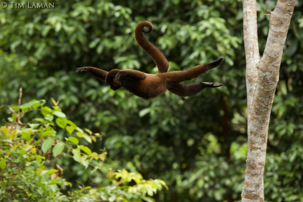 Woolly Monkey (Lagothrix poeppigii) at the Tiputini Biodiversity Station, Orellana Province, Ecuador