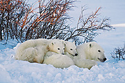 Polar Bear (Ursa maritimus) on sub-arctic Hudson Bay. Mother and two cubs at sunset<br />
