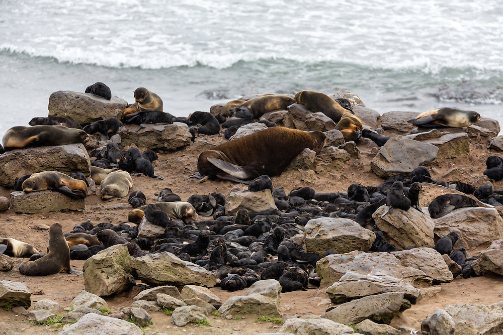 Nursery of Northern Fur Seal (Callorhinus ursinus) pups on St. Paul Island in Southwest Alaska. Summer. Morning.