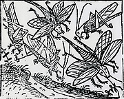 Plague of locusts which devastated areas of North Africa in 1348. Woodcut from 'Liber chronicarum mundi', 1493.