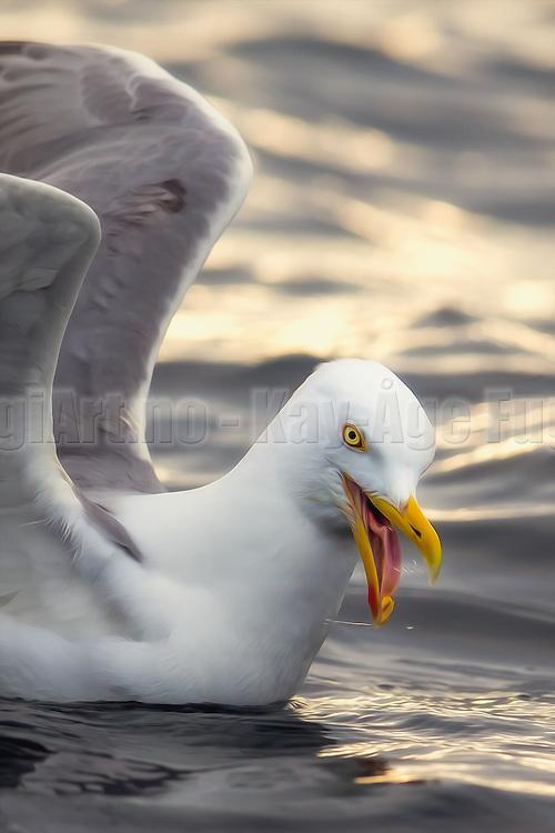 This Seagull is crazy about peanuts. Well, Seagulls are crazy about everything I guess. Have added slightly paint effect in PS   Denne måken er gal etter peanøtter. Måker er vel kanskje gal etter all mat. Har lagt till en anelse malerisk effekt i PS.