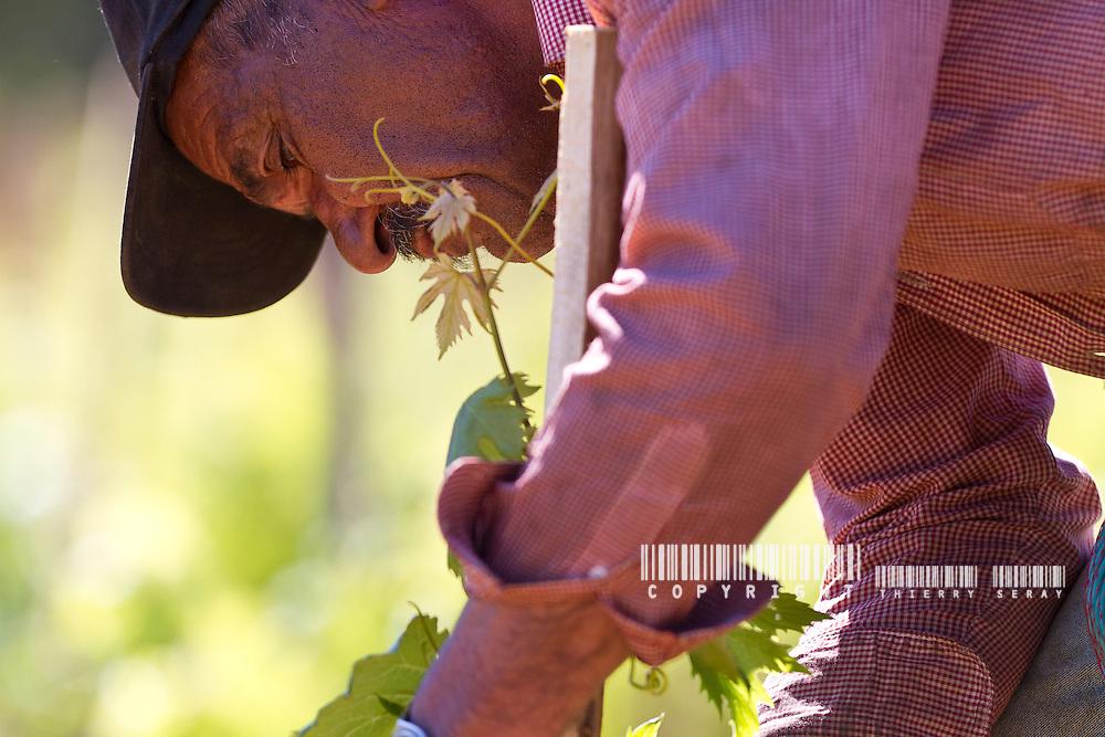 UN AN AU PIED DES VIGNES-STORY OF A FRENCH GRAPEWINE. PART 2. La vigne requiert une attention constante et de nombreux travaux tout au long de l'année. Un travail soigné est la condition primordiale pour des raisins de qualité, même si le résultat final dépend toujours en grande partie de la nature et des aléas météorologiques...