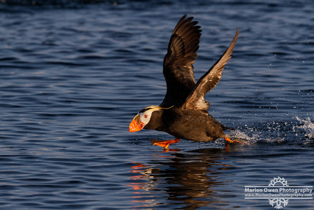 Tufted puffin takes off
