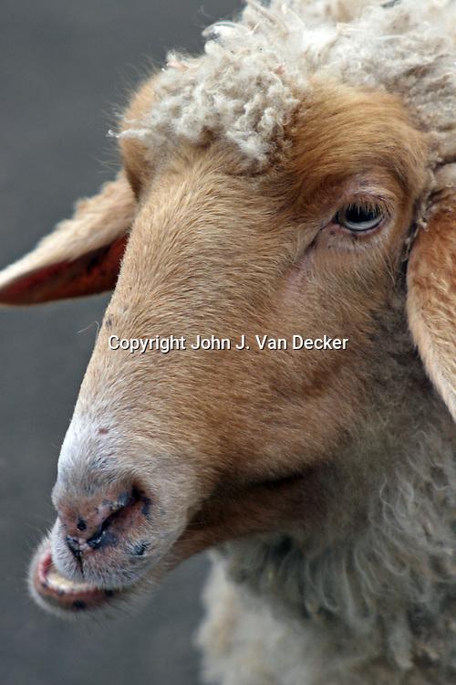 Tunis Sheep chewing cud
