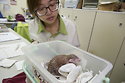 Chinese pangolin <br /> Manis pentadactyla<br /> Research assistant, Hsuan-yi Lo, tending to twelve-day-old orphaned baby (named Gung-wu). Gung-wu is the offspring of parents rescued from poachers. <br /> Taipei Zoo, Taipei, Taiwan<br /> *Model release available