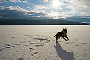 Idaho, Nordman, A shepard husky mix breed dog plays in the morning sun on frozen Priest Lake. PR . PLEASE CONTACT US FOR DIGITAL DOWNLOAD AND PRICING.