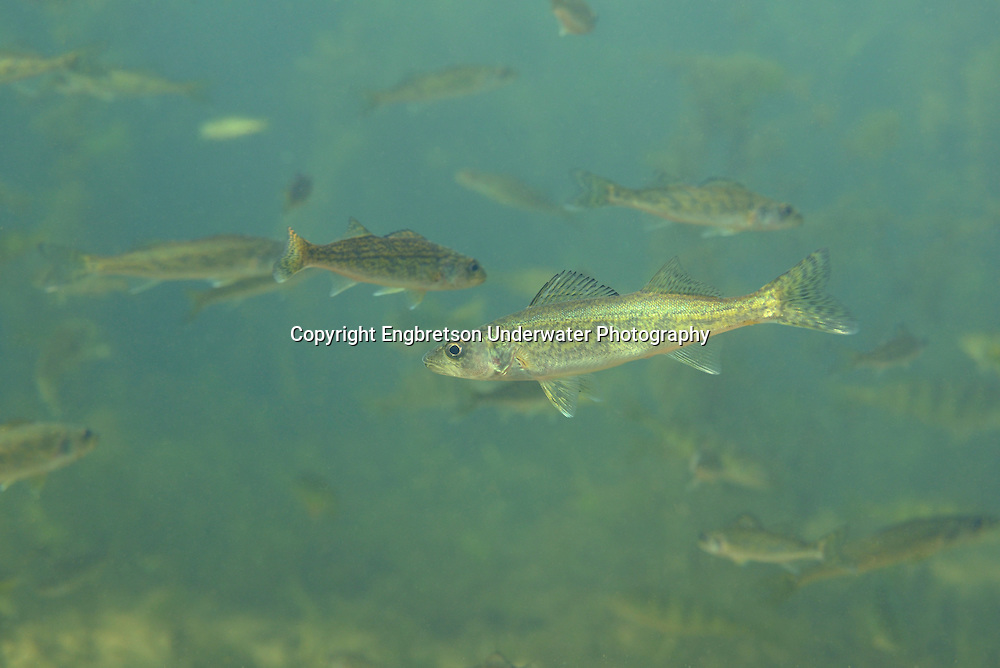 Walleyes (Age 0 fingerlings)<br /> <br /> Engbretson Underwater Photography
