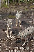 The wilderness zoo in Namsskogan have 12 wolves, and some newborn. Wolf, Namsskogan wilderness zoo.
