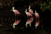 Four Roseate Spoonbills stand in a tidal pool at Ding Darling National Wildlife Refuge on Sanibel Island, Florida
