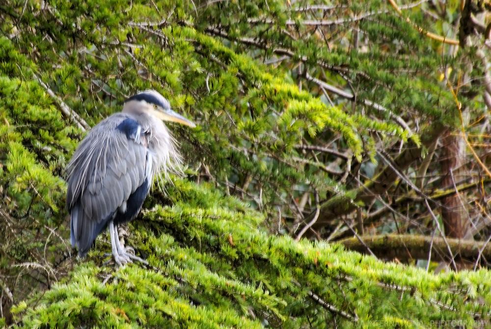 Great Blue Heron, Beacon Hill Park, Victoria, British Columbia, Canada