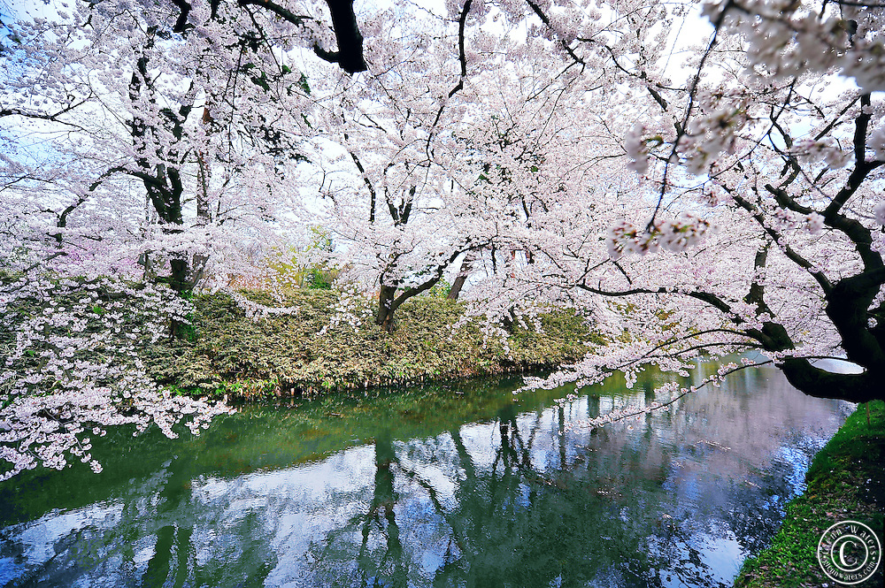 Wonderful cherry blossoms flank the moat of Hirosaki castle, located in Northern Honshu, Japan. Over 3,000 cherry trees come into bloom from mid April to early May.