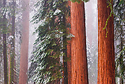 Giant Sequoias (Sequoiadendron giganteum) in winter, Giant Forest, Sequoia National Park, California USA