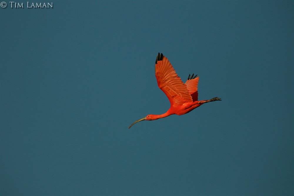 A single Scarlet Ibis (Eudocimus ruber) flying through the blue sky.