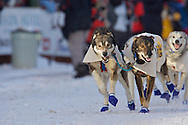 March 7th, 2009:  Anchorage, Alaska - The dogs of Rod and Carol Udd, the Honorary mushers, on 4th Avenue to kick off the 2009 Iditarod.