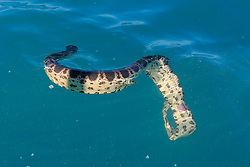 A Stokes' Seasnake (Astrotia stokesii) with a broken back in Roebuck Bay, off Broome in Western Australia.