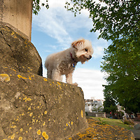 Dylan the Chihuahua-Poodle posing in a church yard in Brighton.
