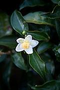 Sri Lanka Hill Country.Tea leaf of the Camellia sinensis plant.