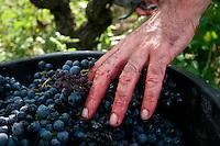 """Una mano che adagia delicatamente i grappoli d'uva nelle """"tinelle"""". La varietà dell'uva è negramaro raccolta nelle campagne di San Pancrazio Salentino in provincia di brindisi. Questi grappoli verranno utilizzati per la produzione di vino novello, cioè un vino giovane che verrà consumato entro tre mesi (novembre-dicembre-gennaio) proprio perchè alla fine di questo periodo il vino perde le sue caratteristiche di dolcezza e freschezza per diventare un vino normale da tavola."""