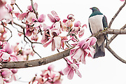 A New Zealand Wood Pigeon rests on a magnolia tree.