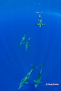 rough-toothed dolphins, Steno bredanensis, Kona, Hawaii ( Central Pacific Ocean )