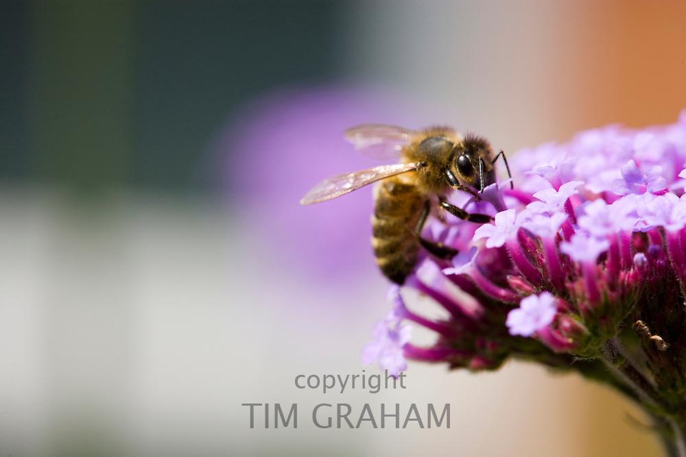 Honey bee gathering nectar from Verbena bonariensis flower in herbaceous border of country garden, UK