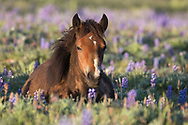 This little filly is named Ruby and she was born in November of 2017 to the mare, Juniper and her band stallion, Horizon. Late fall is a difficult time for any birth, but like all wild horses, Ruby is extremely tough. She made it through the the long winter and now seems to be thriving. Mother Juniper is very attentive to Ruby and keeps a close eye on her favorite girl.