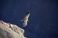 peru :: andean condors (2011)
