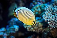 Chaetodon lunulatus (Oval Butterflyfish)