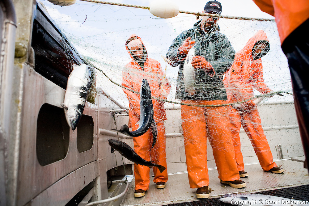 The crew pick fish from the gillnet while commercial sockeye salmon fishing in the Eastern Aleutian Islands, area M, region aboard the F/V Lucky Dove.