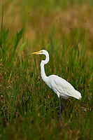 Great Egret (Ardea alba), Arthur R Marshall National Wildlife Reserve - Loxahatchee, Florida, USA.    Photo: Peter Llewellyn