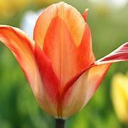 """Flying in Light""<br /> <br /> Delightful tulip in spring!!<br /> <br /> Flowers by Rachel Cohen"