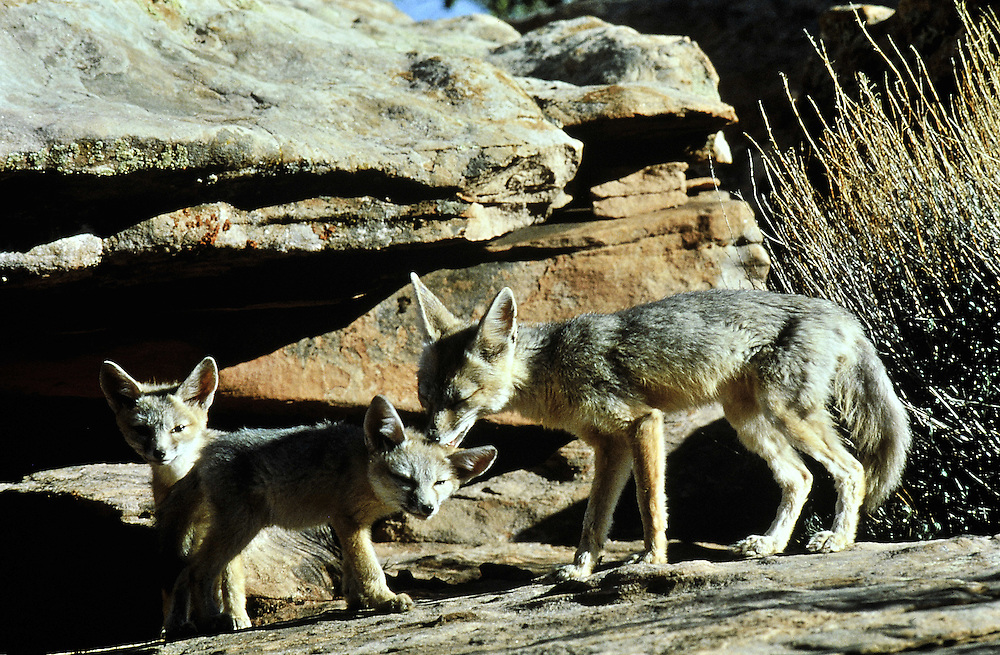 A female with pups appear at a den site. Female grooms one of the pups, Predator Heat adapted small size large ears. Utah
