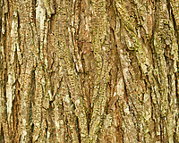 Tree Bark (Oak?). Image taken with a Fuji X-H1 camera and 60 mm f/2.4 macro lens.