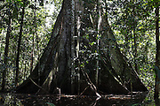 A Lapuna tree with a base of 36 feet (12 metres) in the Pacaya Samaria national reserve.<br /> The mighty Lapuna tree is known amongst Amazonian tribes as the grandfather of the forest. Being one of the tallest trees in the Amazon a number of myths and folk tales are associated with this charasmatic tree. Due to climate change and illegal logging the future of this magnificant tree is becoming increasingly uncertain.