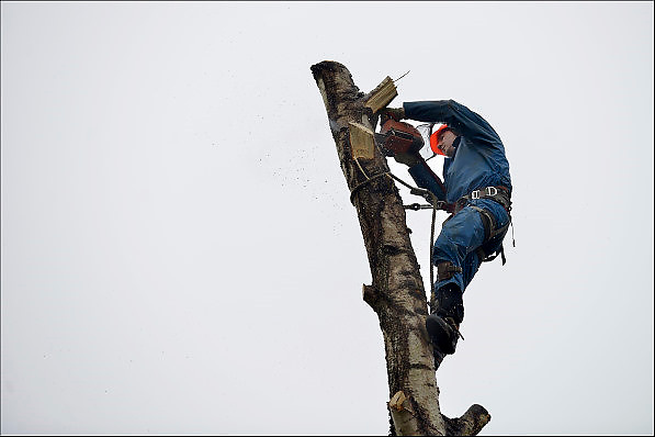 Nederland, Ubbergen, 26-1-2015Een hovenier, boomzager, verwijderd een boom, berk, berkenboom,  uit een tuin. Van onder naar boven werkend zaagt hij de zijtakken eraf en daarna weer naar beneden om de stam te korten. Het laatste stuk wordt omgetrokken. De oude boom werd een gevaar voor de woning en kon bij storm of zware windstoten op het huis vallen.FOTO: FLIP FRANSSEN/ HOLLANDSE HOOGTE