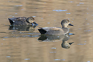 Gadwall Drake and Hen in Breeding Plumage