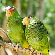 Green parrots.Quintana Roo, Mexico.