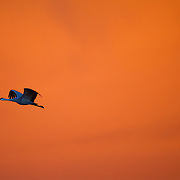 An amazing sunrise colored backdrop for a Sandhill crane causing the skies ofSouthern New Mexico
